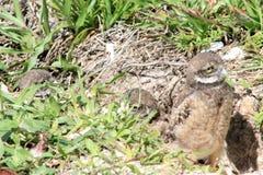Burrowing il pulcino del gufo che emerge dal nido Immagine Stock