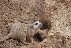 Burrowing l'erpeste di Meerkat Immagine Stock Libera da Diritti