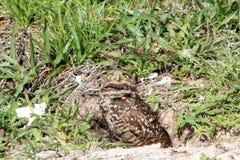 Burrowing le coppie ed il pulcino del gufo in nido Fotografia Stock