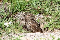 Burrowing le coppie ed il pulcino del gufo in nido Immagine Stock