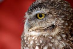 Burrowing o Close-Up da coruja imagem de stock royalty free