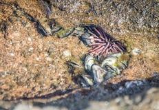Burrowing o diabrete de mar na água pouco profunda Imagem de Stock