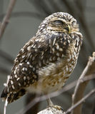 Burrowing owl 1 Royalty Free Stock Photo