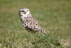 Burrowing Owl. On ground royalty free stock photography