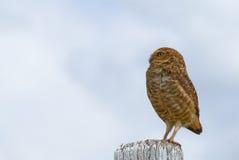 Burrowing Owl Stock Photo