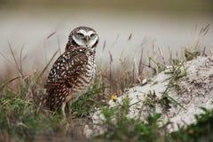Burrowing Owl stock image