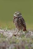Burrowing Owl. Closeup of a Burrowing Owl in Cape Coral, Florida Stock Photos