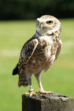 Burrowing Owl. The fascinating (and beautiful) Burrowing Owl Royalty Free Stock Image
