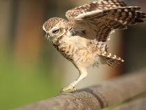 Burrowing Owl. Portrait of a Burrowing Owl landing on a fence Royalty Free Stock Image