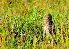 Burrowing Owl. Protecting his nest Royalty Free Stock Photography
