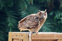 Burrowing Owl 2 Stock Photo