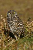 Burrowing owl. Small burrowing Owl guarding his home Royalty Free Stock Image