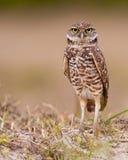 Burrowing owl. (Athene cunicularia) in Marco Island, Florida Stock Image