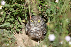 A burrowing owl Stock Photography