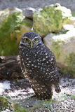 Burrowing Owl. Out of the burrow Stock Photography