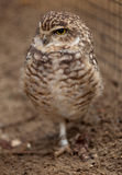 Burrowing owl. Standing on one leg Royalty Free Stock Photos