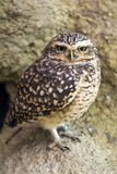A Burrowing Owl Stock Photo
