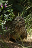 Burrowing owl. Looking at viewer Royalty Free Stock Photos