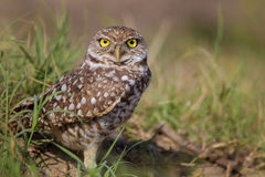 Burrowing owl. Above her nest, stands only about 12 inches tall Stock Photography