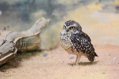 Burrowing owl Stock Photography