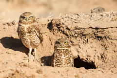 Burrowing Owl. Adult Pair of Burrowing Owls At Their Burrow Royalty Free Stock Image