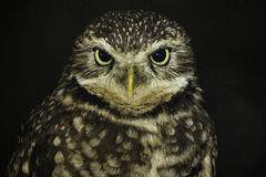 Burrowing Owl. Centered blurred black background Stock Images
