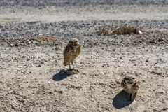Burrowing Owl Stock Photography