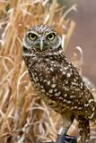 Burrowing Owl. Close Up with Straw in  the Background Stock Photos