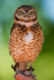 Burrowing owl. A burrowing owl portrait with focus on the face(shallow depth of field Stock Images