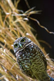 Burrowing Owl. A burrowing owl is perched Royalty Free Stock Photo