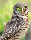 Burrowing Owl. Close up of Burrowing Owl eating food, green background Royalty Free Stock Photo