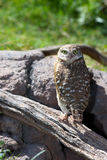 Burrowing Owl. A Burrowing owl perched on a log Stock Images