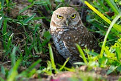 Burrowing owl. Small burrowing owl in south florida Royalty Free Stock Image