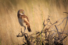 Burrowing Owl in afternoon light. Burrowing owl perched on limbs in afternoon light Stock Photo