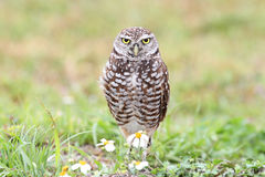 Burrowing Owl (athene cunicularia) Stock Images