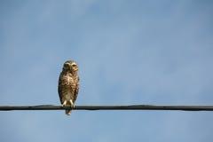 Burrowing Owl (Athene cunicularia) Stock Photography