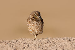 Burrowing Owl (Athene cunicularia) Royalty Free Stock Photos