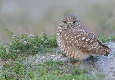 Burrowing Owl, Athene cunicularia Royalty Free Stock Image