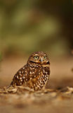Burrowing owl, athene cunicularia Stock Photos