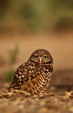 Burrowing owl, athene cunicularia Stock Images
