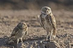 Burrowing Owl, Athene cunicularia, adult and juvenile Royalty Free Stock Images