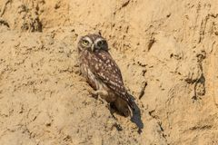 Burrowing owl athene cunicularia stock photography