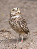 Burrowing owl (Athene cunicularia) in captivity Stock Image
