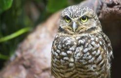 Burrowing owl Athene cunicularia Stock Photos
