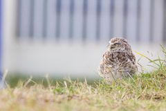Burrowing owl Athene cunicularia cub. Royalty Free Stock Photo