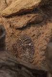 Burrowing Owl, Athene cunicularia Royalty Free Stock Photography