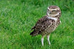 Burrowing owl (Athene cunicularia) Royalty Free Stock Photo