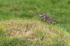 Burrowing owl Athene cunicularia Royalty Free Stock Photos