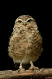 Burrowing Owl (Athene cunicularia) isolated. Isolated burrowing owl with black background Royalty Free Stock Images