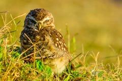 Burrowing owl Athene cunicularia royalty free stock image